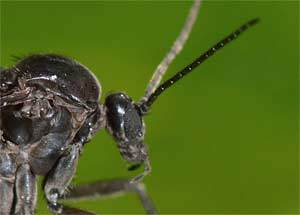 Trauermücke Sciaridae