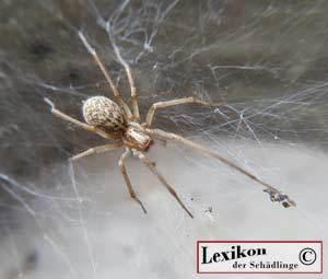 Hauswinkelspinne im Spinnennetz