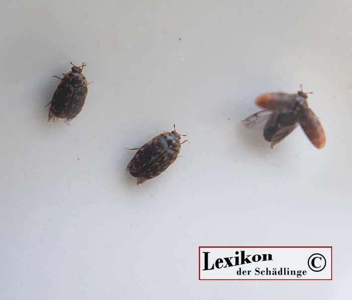 Hervorragend Australischer Teppichkäfer – Lexikon der Schädlinge erkennen und OO33