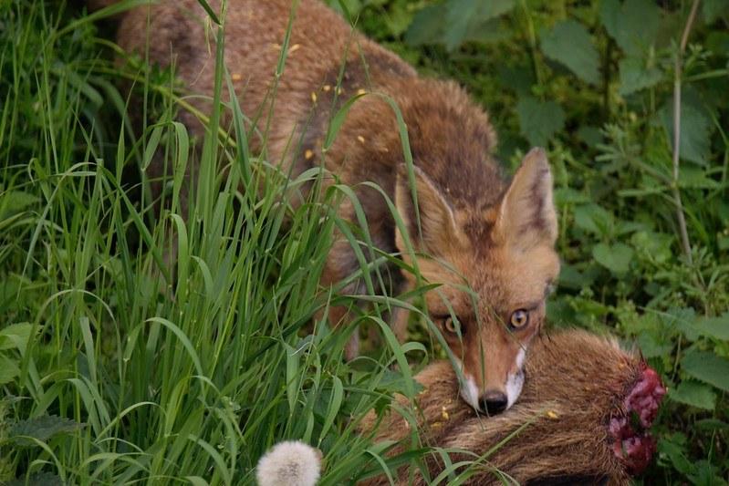 Fuchs im Wohngebiet